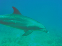 AM Divers Swimming in Red Sea with wild Dolphin